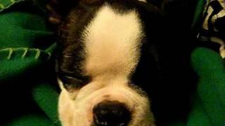 Benji, our 4 month old BT pup enjoying a nap.
