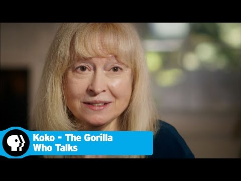 KOKO - THE GORILLA WHO TALKS | Beginning of Koko's Story | PBS