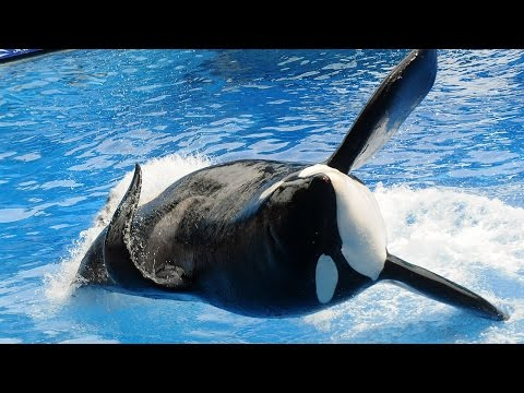 Thumbnail: Killer Whale Tilikum That Attacked Sea World Trainer Has Died
