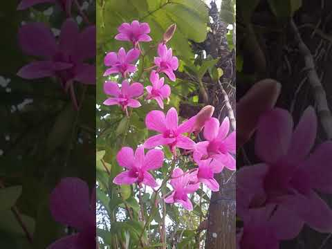 Bunga Anggrek Ungu Youtube