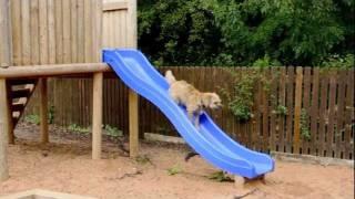 Border Terrier Having Fun...........