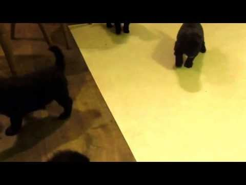 Bouvier des Flandres puppies for sale UK 25.4.13
