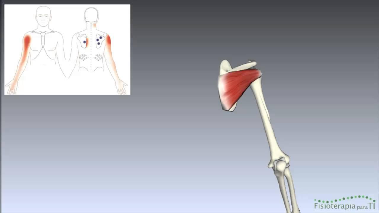 Músculo Infraespinoso. Anatomía interactiva Tema 1 - Fisioterapia ...