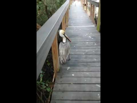 Pelican tour guide