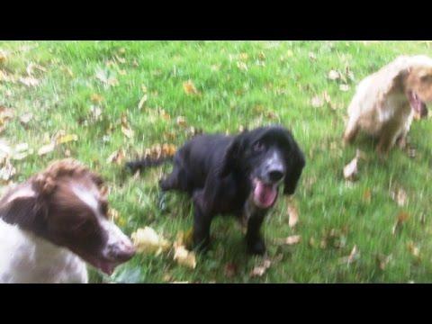 Alfie, Finlay & Murphy Springer Spaniel & Cocker Spaniels.