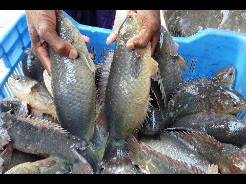 Climbing Perch Fish Eggs Hatching | Fish Breeding Farm