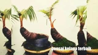 Bonsai kelapa terbaik coco bonsai is the best