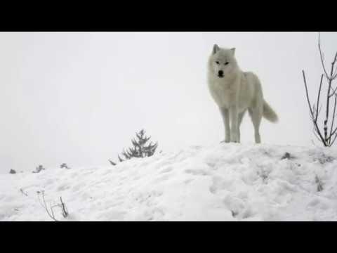 Poznejte nás. Vlci arktičtí v ZOO Tábor
