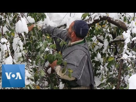Heavy Snowfall in India's Kashmir Destroys Apple Orchards