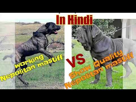 Nepolitan mastiff show vs working which is best//Hindi.