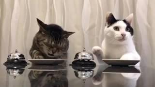 Дрессированные японские кошки кушают