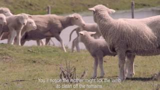 Lambing time at the malabrigo Sheepfold