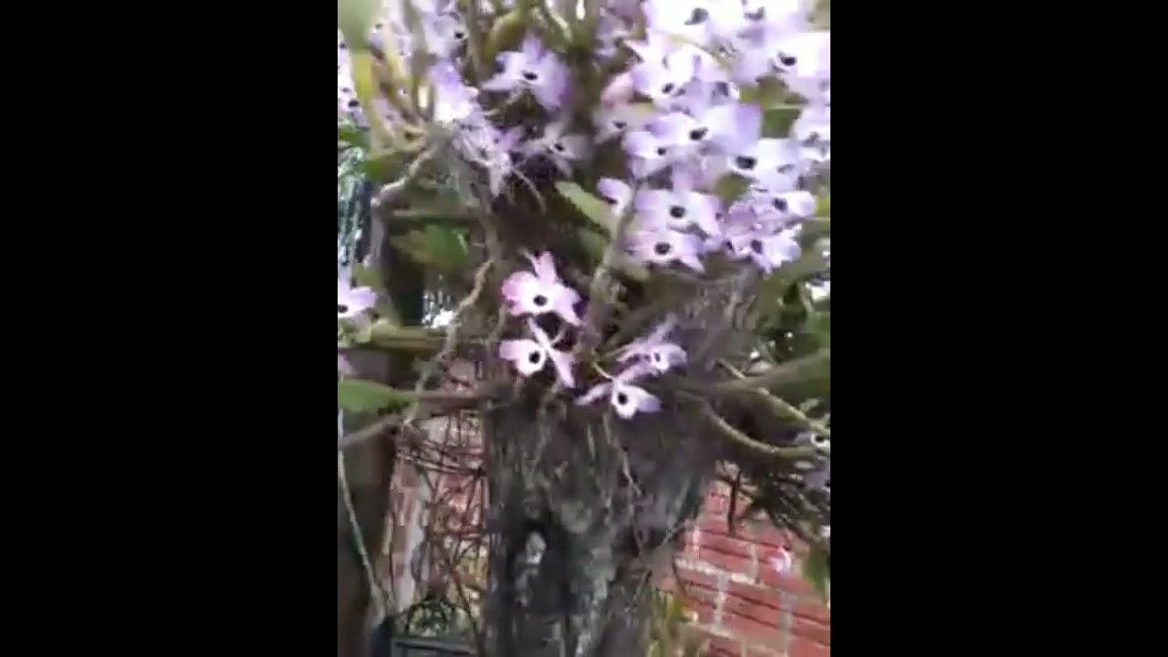 Орхидея dendrobium nobile.