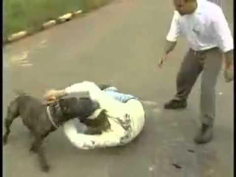 pitbull ataca defendiendo al dueño real