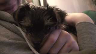 Cute Yorkie Puppy Ruby First Few Weeks At Home Training And Meeting The Family