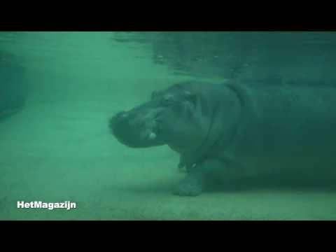 Max, het kleine nijlpaard