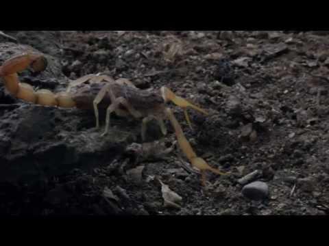 Scorpions in Cyprus - Mesobuthus cyprius - Cyprus Endemic