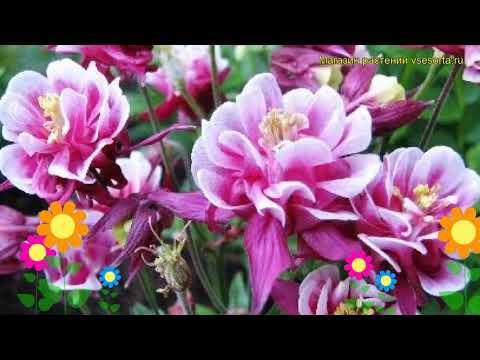 Аквилегия обыкновенная Винки Дабл Роуз энд Вайт. Обзор aquilegia vulgaris Winky Double Rose & White