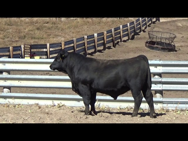 Connealy Angus Lot 143