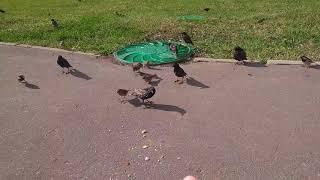 Кормим птичек булками