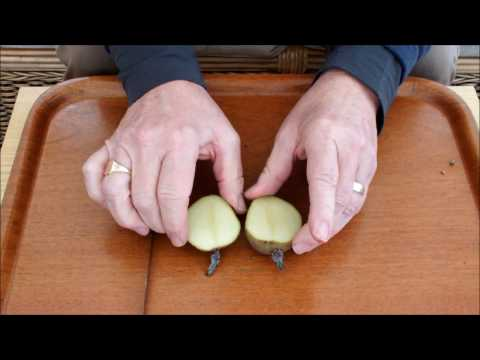 HGV Cut a potato in half experiment start to finish. The results are in.