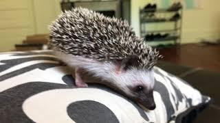 Tito's New Friend?!  A hedgehog! thumbnail