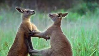 Kangaroo Boxing - Attenborough - Life of Mammals - BBC