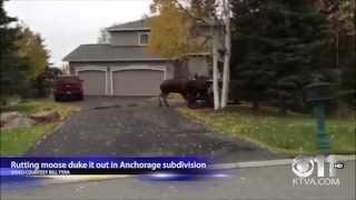 А в это время в Канаде\ Лоси устроили разборки\Rutting moose duke it out in Anchorage subdivision\