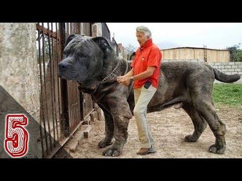 I 5 Cani Da Guardia Più Grandi e Pericolosi Al Mondo