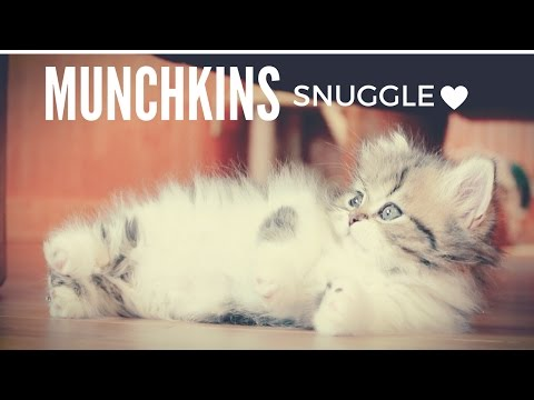 Munchkin kitten goes to sleep with his brother ❤️