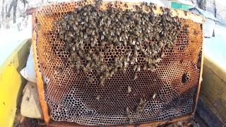 Пчёлы погибли от недостатка кормов во время зимовки. Текущий осмотр пасеки в феврале.