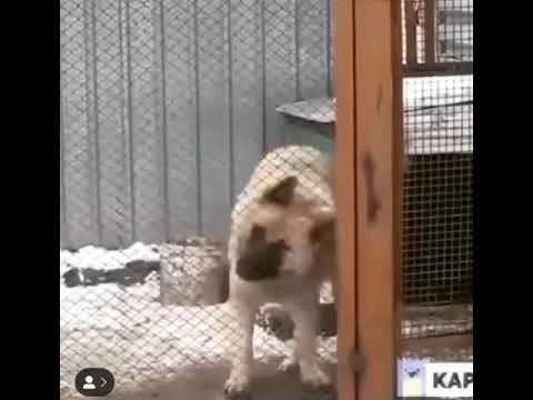 AMAZING DOG DANCING INSIDE THE CAGE ❤️❤️🔥