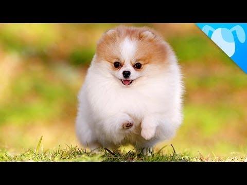 Pomeranian Facts
