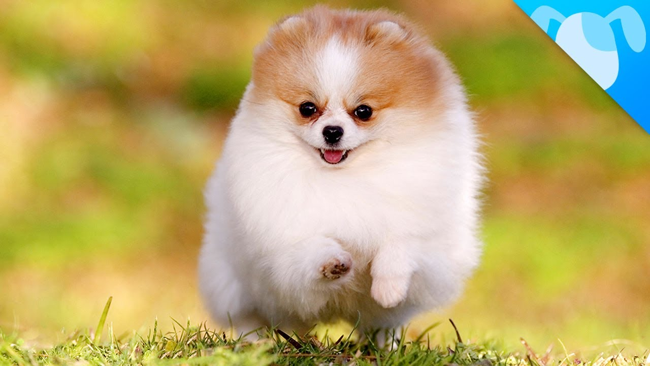 pomeranian puppy how to raise