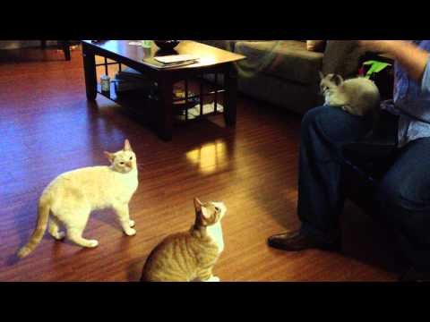 Cats jumping for cat toys!