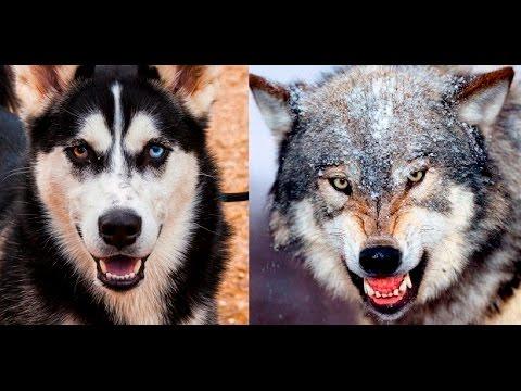 Alaskan Malamute vs Wolf - YouTube