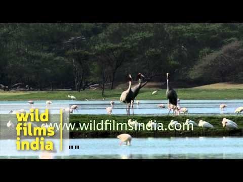 Pair of Sarus Cranes near lakeside