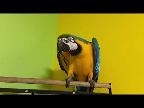 Попугай ара и веер