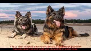 German Shepherd Puppies Ny Place