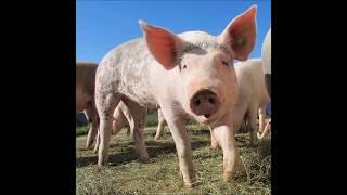 W Azji urodziła się pół człowiek-pół świnia! Zobaczcie nagranie!
