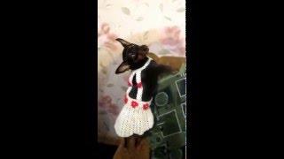 Сарафан на День рождения Тоши (карликовой собачки)