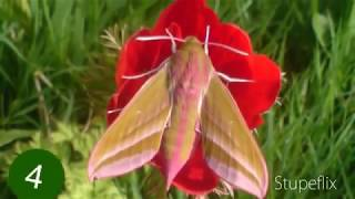 elephant hawk moth- from larvae to adult