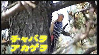 「野鳥の聖地」舳倉島(チャバラアカゲラ・シマアオジ・シマノジコ・チゴモズほか)The holy place Hegurajima of the wild bird in Japan
