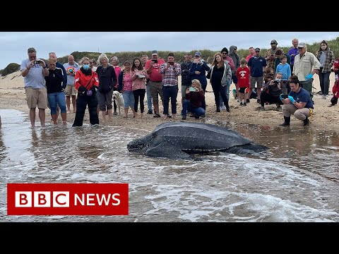 Stranded 600lb turtle returned to Atlantic Ocean - BBC News