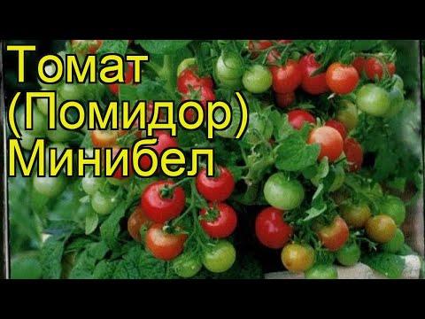 Томат обыкновенный Минибел. Краткий обзор, описание характеристик, где купить семена