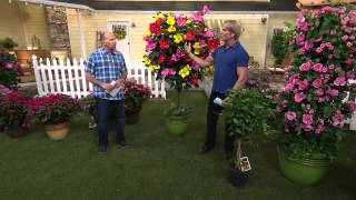 Cottage Farms 3-in-1 Braided Tropical Hibiscus Tree with Dan Wheeler
