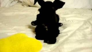Chopin - Black Tuxedo Toy Size Schnauzer - Schnauzertown.com