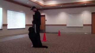 Odin (bernese Mountain Dog) Boot Camp Dog Training Minnesota