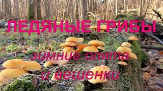 Ледяные грибы. Вешенки и зимние опята.