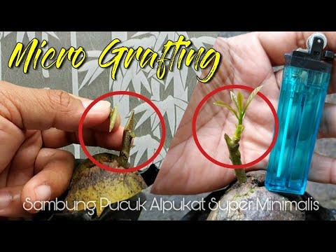 Jangan Remehkan Micro Entress One Bud Avocado Grafting